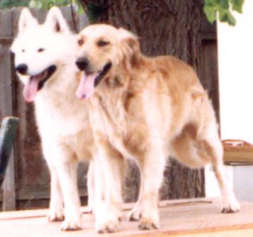 Samoyed and Golden Retriever